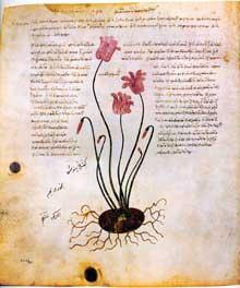 Cyclamen. Page du «Dioscoride de Vienne». 512