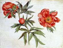 Martin Schongauer: études de pivoines. Vers 1472. Couleurs à l'eau, 25,4 x 33,4 cm. Collection privée. (Histoire de l'art)