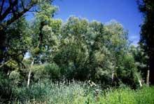 Offendorf: roselière dans un bras mort du Rhin